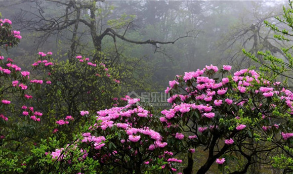 峨眉山杜鹃花实景图